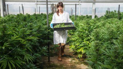 Cannabis, our Ganja, 2018.jpg